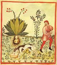 Las plantas alucinógenas como medicinas mágicas
